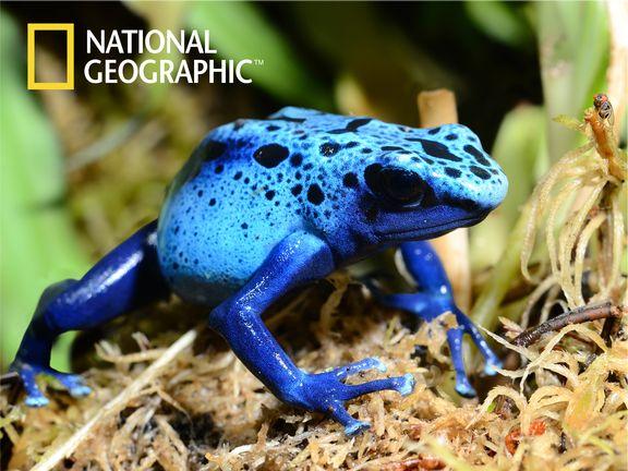 #Ядовитая лягушка  (Poison frog)