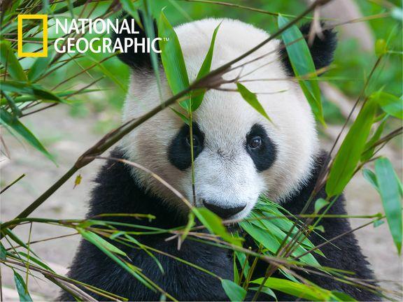 #Большая панда (Giant panda)