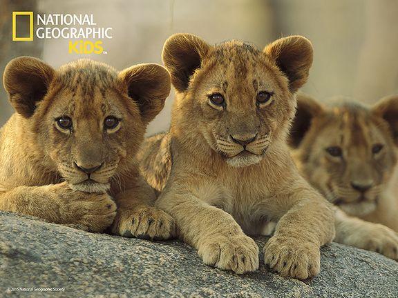 #Африканские львы (Lions)