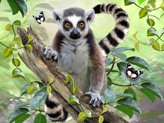 #Кошачий лемур (Lemur)