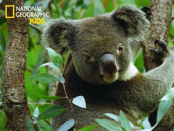 #Коала (Koala)